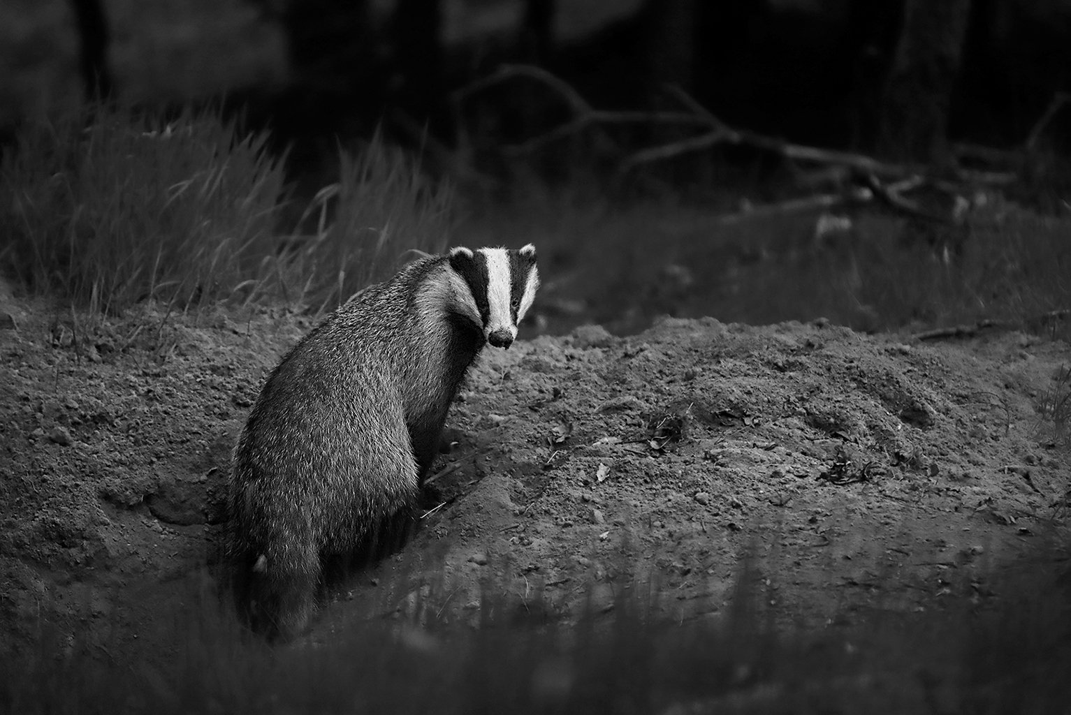 Badger66BW