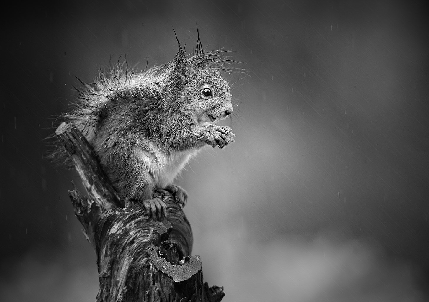 wet squirrelBW